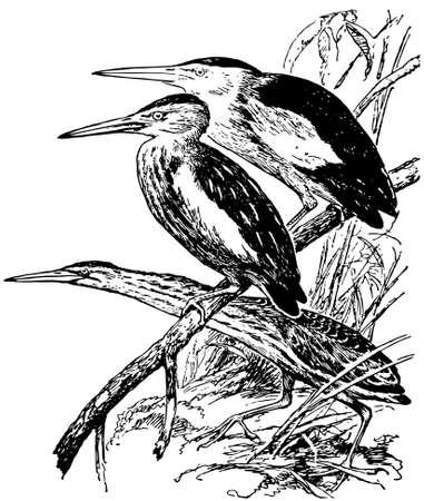 bittern: Bird Little Bittern Illustration