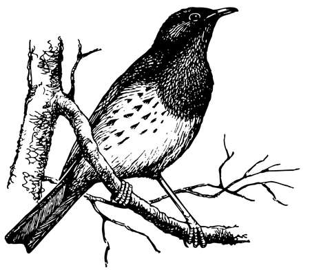 thrush: Bird Japanese Thrush