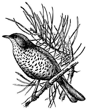 thrush: Bird Mistle Thrush Illustration