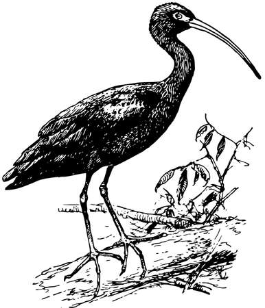 Bird Glossy Ibis Stock Vector - 12486016