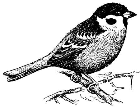 Bird Eurasian Tree Sparrow Vector