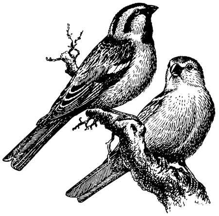 sparrow bird: Bird Saxaul Sparrow