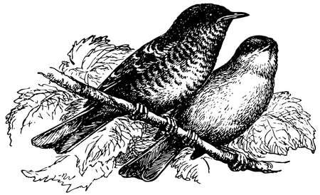 barred: Bird Barred Warbler