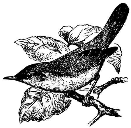 Bird Blyth's Reed Warbler Stock Vector - 12486011