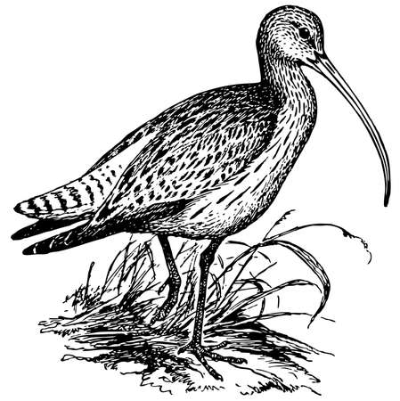 eurasian: Bird Eurasian Curlew Illustration