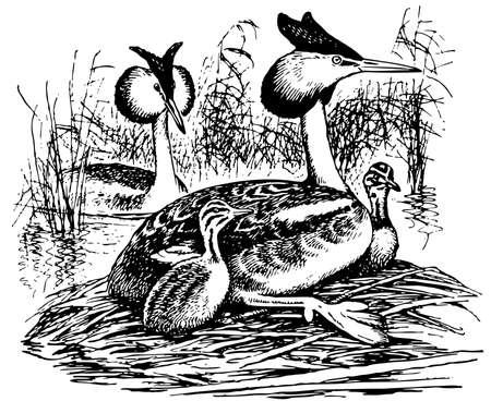 grebe: Bird Great Crested Grebe