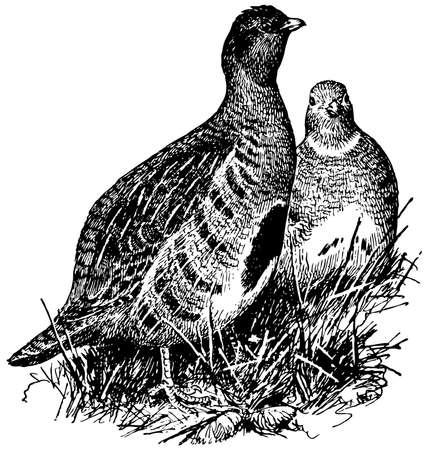 kuropatwa: Ptak kuropatwa Ilustracja