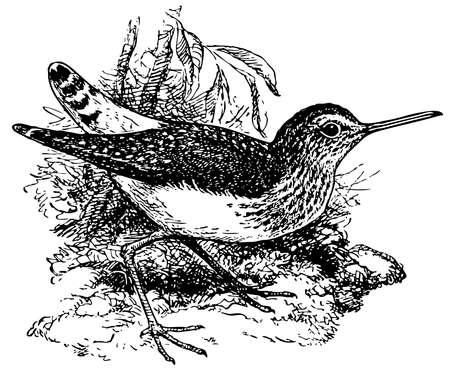 Bird Green Sandpiper