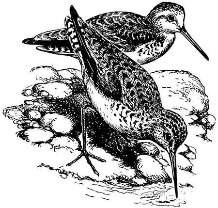 Bird Marsh Sandpiper Illustration