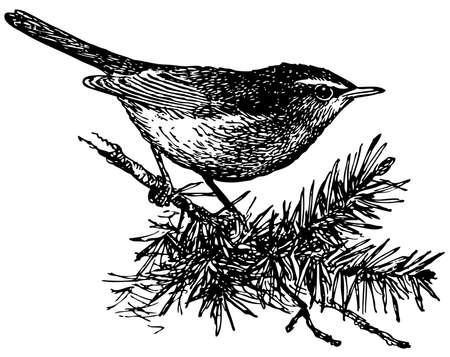 Bird Dusky Warbler Stock Vector - 12486014