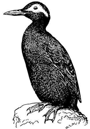 spectacled: Bird Spectacled Guillemot