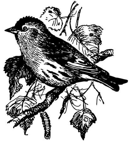 eurasian: Bird Eurasian Siskin