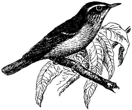 Bird Arctic Warbler Stock Vector - 12486010