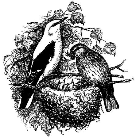 eurasian: Bird Eurasian Golden Oriole