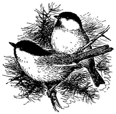chickadee: Bird Black-capped Chickadee