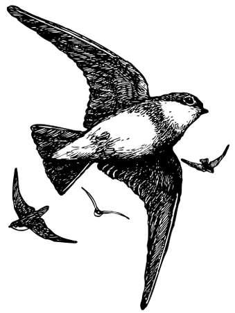 martin: Bird Brown-throated Sand Martin