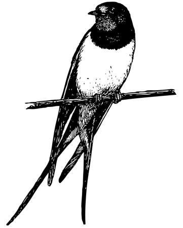 oiseau dessin: Hirondelle rustique oiseaux Illustration