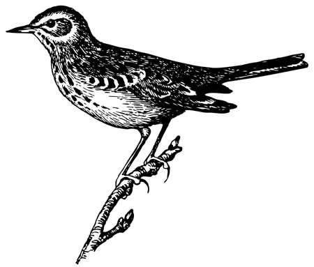 Bird Tree Pipit Stock Vector - 12486000
