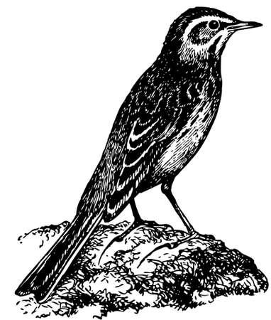 Bird Richard's Pipit Stock Vector - 12486015