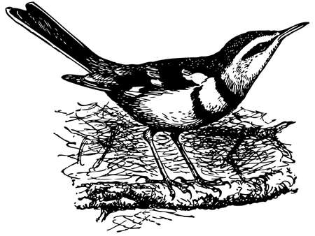 wagtail: Bird Forest Wagtail Illustration