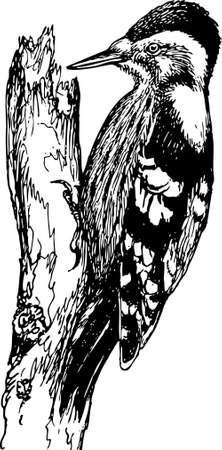 pygmy: Bird Grey-capped Pygmy Woodpecker
