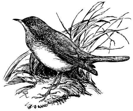 thrush: Bird Thrush Nightingale