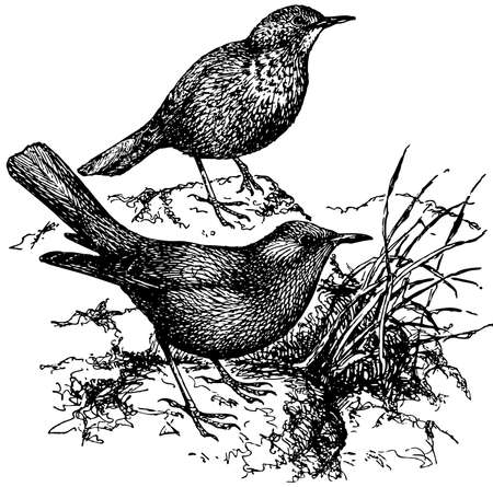 thrush: Bird Blue Rock Thrush
