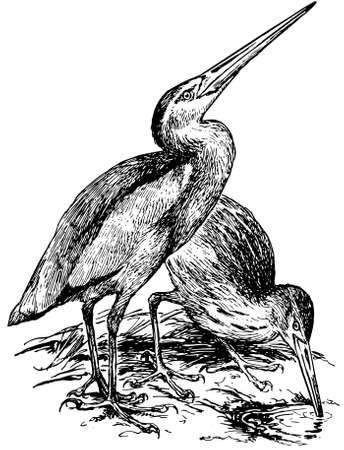 bittern: Bird Yellow Bittern