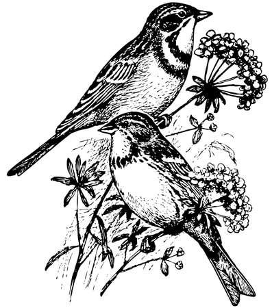 pajaro  dibujo: Bird Castaña de orejas Bunting Vectores