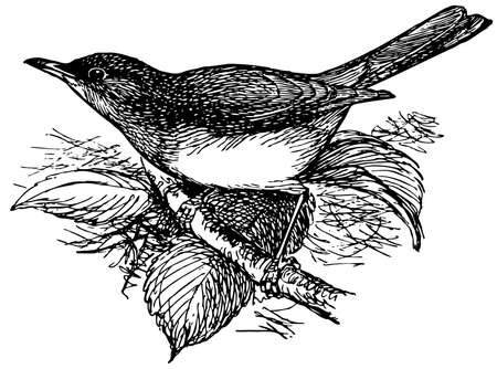 thrush: Bird Pale Thrush Illustration