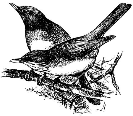 thrush: Bird Grey-backed Thrush Illustration