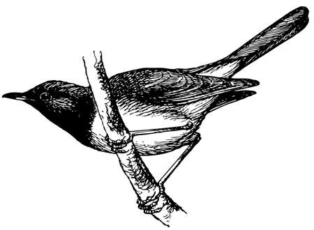 thrush: Bird Red-throated Thrush Illustration
