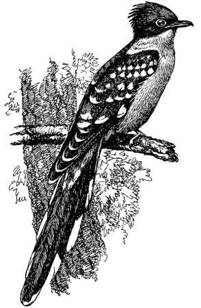 pajaro dibujo: Gran Pájaro manchado del cuco