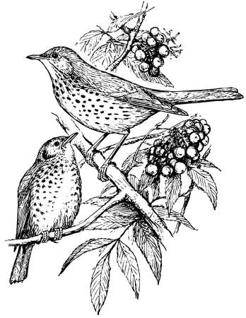 thrush: Bird Song Thrush