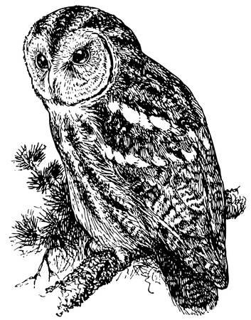tawny: Bird Tawny Owl