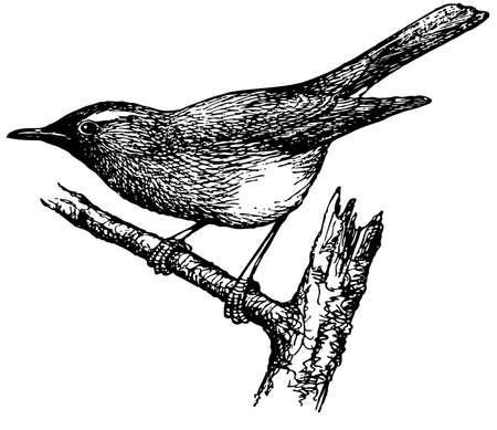 thrush: Bird Siberian Thrush
