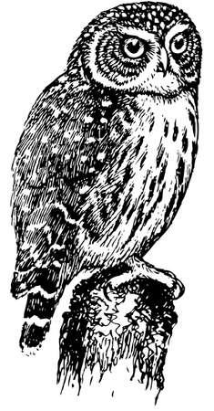 eurasian: Bird Eurasian Pygmy Owl