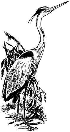 grey heron: Bird Grey Heron Illustration