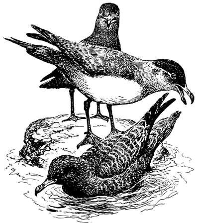 parasitic: Bird Parasitic Jaeger