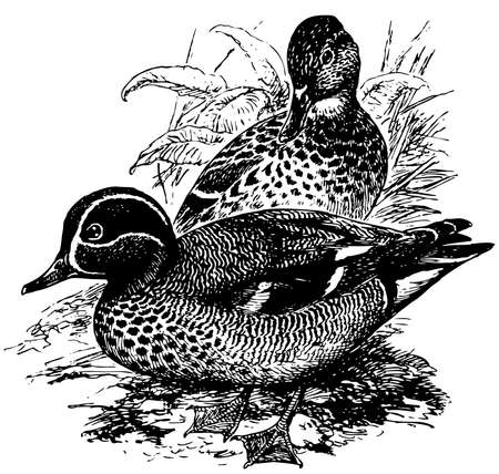 eurasian: Bird Eurasian Teal Illustration