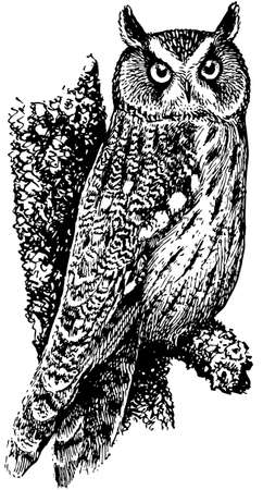 wildlife: Bird Long-eared Owl