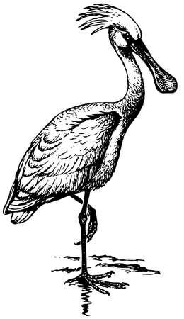 eurasian: Bird Eurasian Spoonbill Illustration
