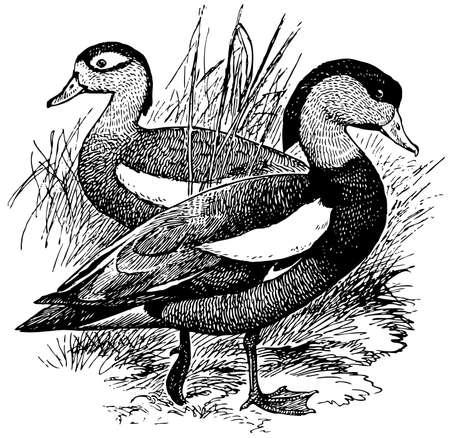 pajaro  dibujo: Bird Crested Shelduck Vectores