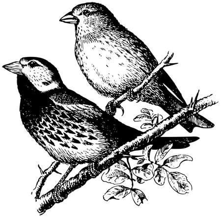 sparrow bird: Bird Spanish Sparrow