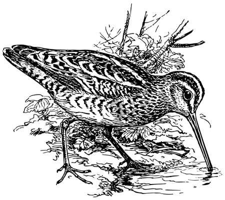 Bird The Eurasian Woodcock