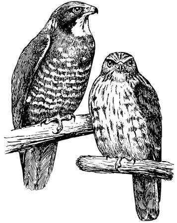 buzzard: Bird Grey-faced Buzzard