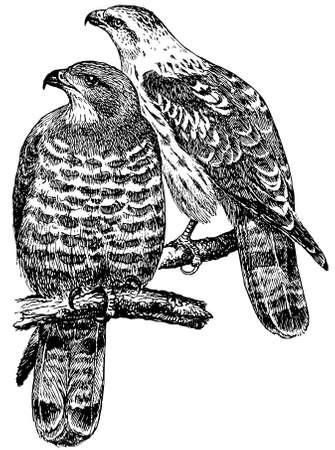 buzzard: Bird European Honey Buzzard Illustration