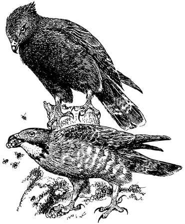 buzzard: Bird Crested Honey Buzzard Illustration