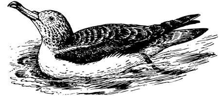 streaked: Bird Streaked Shearwater