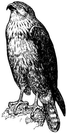 buzzard: Bird Long-legged Buzzard